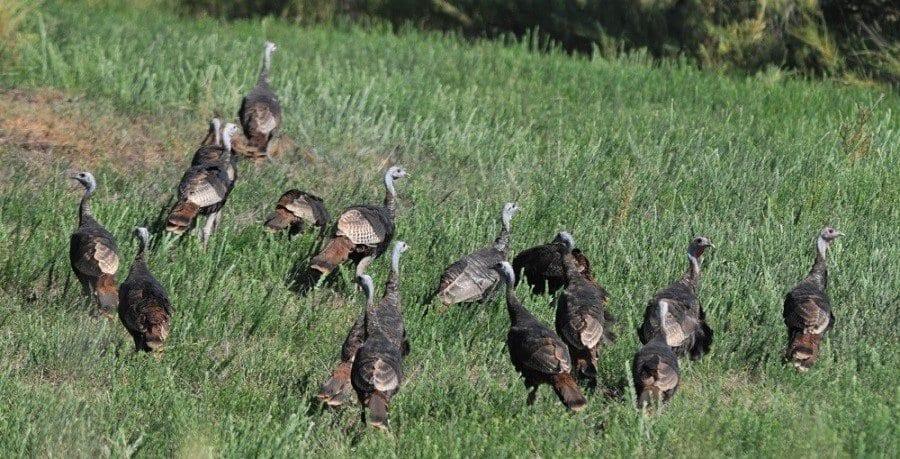Kentucky Turkey Count Goes High Tech