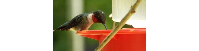 August is Hummingbird Month at Woodlands Nature Station